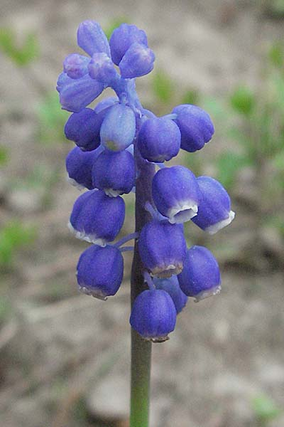 Muscari armeniacum \ Armenische Traubenhyazinthe / Armenian Grape Hyacinth, D Bensheim 22.4.2006