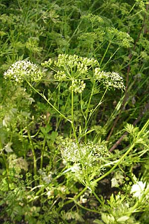 Petroselinum crispum \ Petersilie / Parsley, D Botan. Gar.  Universit.  Mainz 11.7.2009