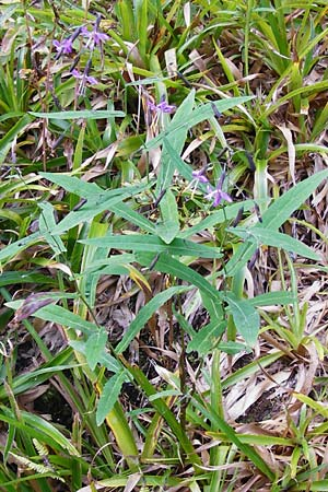 Prenanthes purpurea \ Purpur-Hasenlattich / Purple Lettuce, D Schwarzwald/Black-Forest,  Hornisgrinde 10.9.2014