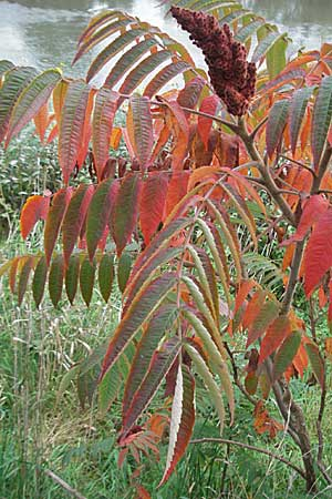 Rhus typhina, Stag's-Horn Sumach