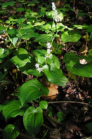 Maianthemum bifolium \ Schattenblümchen / May Lily, False Lily of the Valley, D Ketsch 16.5.2014