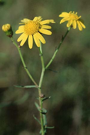 Senecio inaequidens, Narrow-Leaved Ragwort