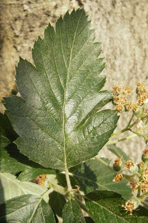 Sorbus mougeotii, Edible Mountain-Ash