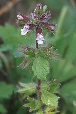 Stachys arvensis, Field Woundwort