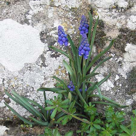 Muscari armeniacum \ Armenische Traubenhyazinthe / Armenian Grape Hyacinth, D Deidesheim 22.3.2012
