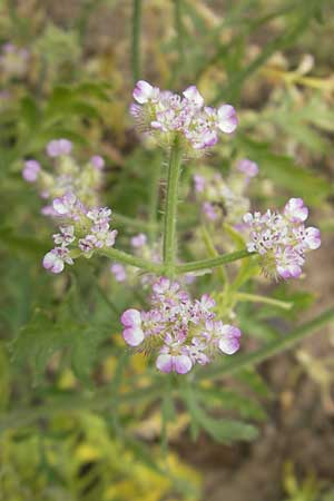 Turgenia latifolia \ Breitblättrige Haftdolde / Greater Bur Parsley, D Botan. Gar.  Universit.  Mainz 11.7.2009