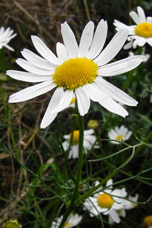Tripleurospermum perforatum, Scentless Mayweed