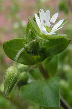 Stellaria neglecta, Greater Chick-Weed