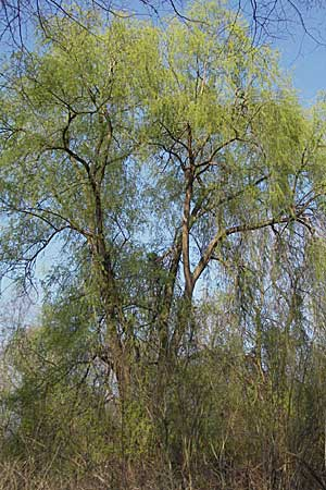 Salix alba, White Willow