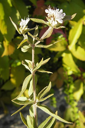 Pycnanthemum pilosum, Hairy Mountain Mint