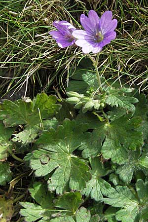 Geranium pyrenaicum, Hedge-Row Crane's-Bill