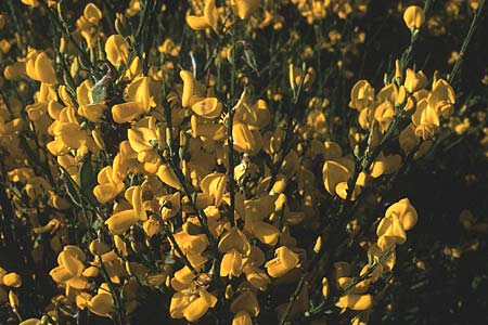 Cytisus scoparius <b>?</b>, Scotch Broom