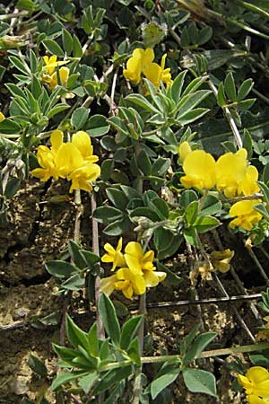 Lotus corniculatus, Bird's-Foot Deervetch