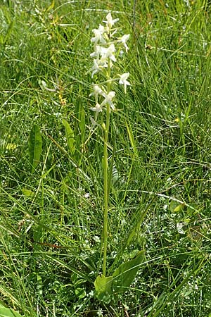 Platanthera bifolia / Lesser Butterfly Orchid, F  Vosges, Grand Ballon 2.7.2018