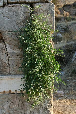 Capparis sicula \ Sizilianischer Kapernstrauch / Sicilian Caper, GR Korinth/Corinth 9.9.2012 (Photo: Gisela Nikolopoulou)