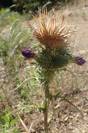Carduus acanthoides \ Weg-Distel / Welted Thistle, GR Euboea (Evia), Agdines 27.8.2017