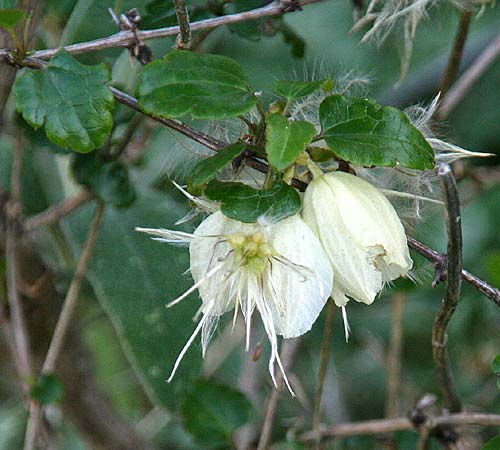 Clematis cirrhosa \ Macchien-Waldrebe / Early Virgin's Bower, GR Gerania - Gebirge/Mountains, Perachora 30.1.2013 (Photo: Gisela Nikolopoulou)