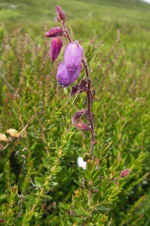 Daboecia cantabrica \ Glockenheide / Irish Heath, IRL Connemara, Clifden 17.6.2012