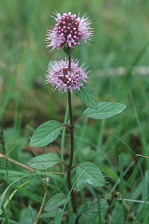 Mentha aquatica \ Wasser-Minze / Water Mint, IRL County Galway, Lough Corrib 9.8.2005