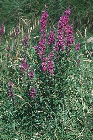 Lythrum salicaria \ Blut-Weiderich / Purple Loosestrife, IRL County Kerry, Skellig Ring 13.8.2005