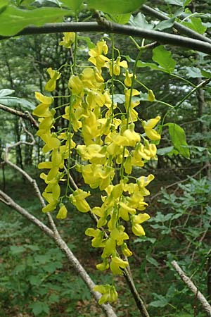 Laburnum alpinum \ Alpen-Goldregen / Alpine Golden Chain, Scottish Golden Chain, I Alpi Bergamasche, Monte Alben 11.6.2017