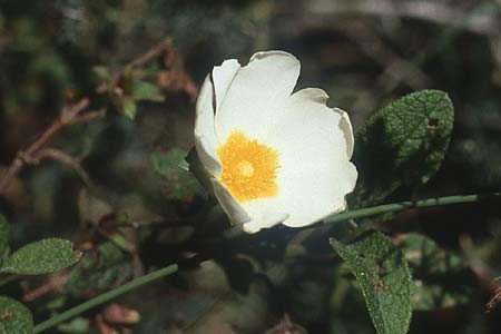 Cistus salviifolius, Sage-Leaved Rock-Rose