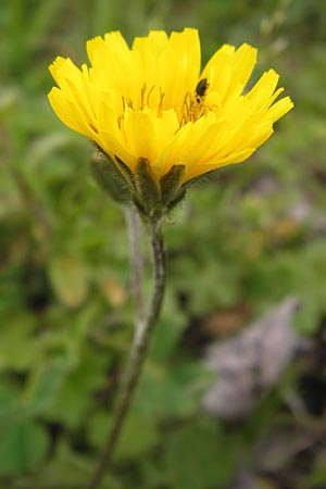 Crepis sancta \ Hasen-Pippau / Holy's Hawk's-Beard, I Cattolica 24.3.2013
