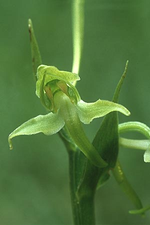 Platanthera holmboei \ Holmboes Waldhyazinthe / Holmboe's Butterfly Orchid, Lesbos,  Agiasos 13.5.1995