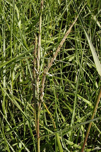 Spartina anglica \ Salz-Schlickgras / Common Cord-Grass, NL Reimerswaal 8.8.2015