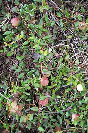 Vaccinium oxycoccos \ Gewöhnliche Moosbeere / Common Cranberry, S Store Mosse 12.8.2009