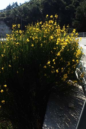 Spartium junceum \ Pfriemenginster / Spanish Broom, Samos Potami 15.4.2017